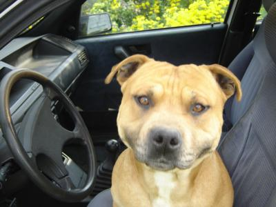 chien au volant